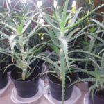 Aloe Arborescens, drevesasta aloja, zdravilna aloja